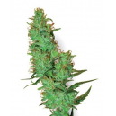 White Label Jack Herer White Label Seed Company