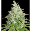 Afghan Kush X Black Domina - World Of Seeds