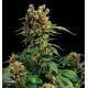 California Hash Plant Dinafem