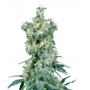American Dream Sensi Seeds