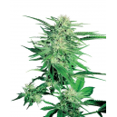 Big Bud Sensi Seeds