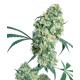 Ed Rosenthal Super Bud Sensi Seeds