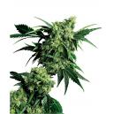 Mr Nice G13 x Hash Plant Sensi Seeds