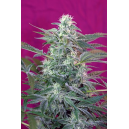 Big Foot Sweet Seeds