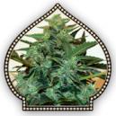 Auto Cheese Berry 00 Seeds