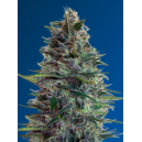 Auto Blue Diesel Advanced Seeds