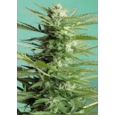 Auto Sweet Dwarf Advanced Seeds