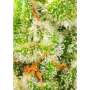 Afghan Skunk Advanced Seeds