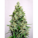 Kali 47 Advanced Seeds