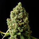 Critical Kush Barney´s Farm Seeds