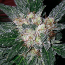 Violator Kush Barney´s Farm Seeds