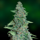 Honey B Barney´s Farm Seeds
