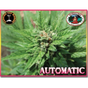 Automatic Big Buddha Seeds