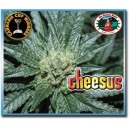 Cheesus Big Buddha Seeds