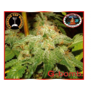 G Bomb Big Buddha Seeds