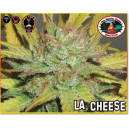 LA Cheese Big Buddha Seeds