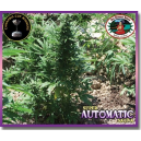 Super Automatic Sativa S.A.S. Big Buddha Seeds