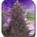 Buddha Purple Kush Buddha Seeds
