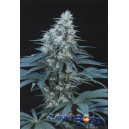 Caribe Cannabiogen Seeds