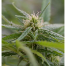 Upstream Cannabiogen Seeds