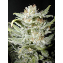 Bangi Haze Cannabiogen Seeds