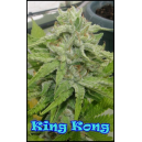 King Kong Dr.Underground Seeds
