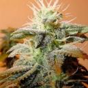 Indoor Mix Female Seeds