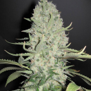 White Widow x Big Bud Female Seeds