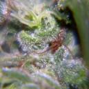 Neville Haze Female Seeds