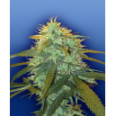 Skunk No.1 Flying Dutchmen Seeds