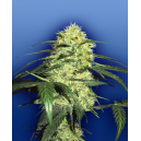 Dutch Delight Flying Dutchmen Seeds