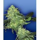 Skunk Classic Flying Dutchmen Seeds