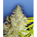 Kerala Kush Flying Dutchmen Seeds