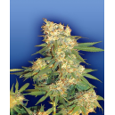 Aurora B. Flying Dutchmen Seeds