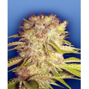 Dutchmen´s Royal Orange Flying Dutchmen Seeds
