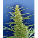 Mixed Sativa Diva´s Flying Dutchmen Seeds