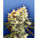 Haley´s Comet Flying Dutchmen Seeds