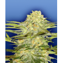 Arctic Sun Flying Dutchmen Seeds