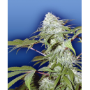 Pineapple Punch Flying Dutchmen Seeds