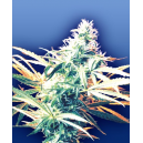 Titan´s Haze Flying Dutchmen Seeds