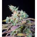 Txomango Genehtik Seeds