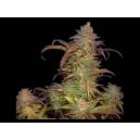 Buruandi Blockhead Genehtik Seeds