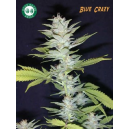 Blue Crazy Good House Seeds