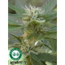 Manolito Good House Seeds