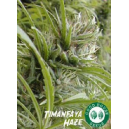 Timanfaya Haze Good House Seeds