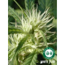 White Tusk Good House Seeds