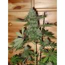 Caramella Homegrown Fantaseeds