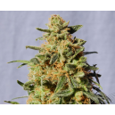 White Domina Kannabia Seeds