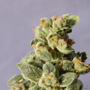 Gnomo Auto Kannabia Seeds